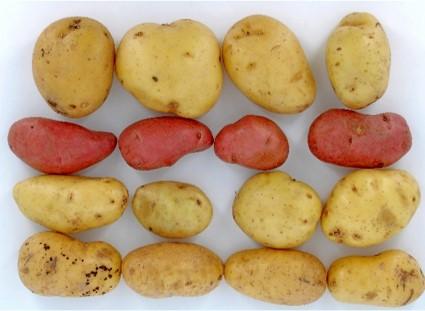Etude post CIPC sur la tenue de la pomme de terre en rayon